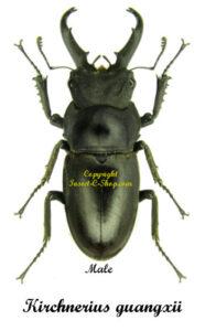 Kirchnerius guangxii 1