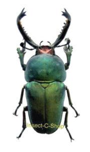 Lamprima adolphinae 1