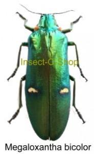 Megaloxantha bicolor ohtanii 1