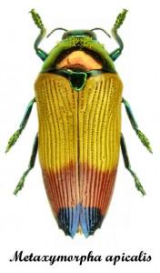Metaxymorpha apicalis 1