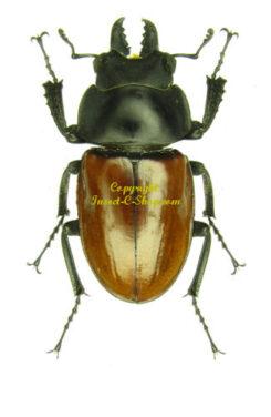 Neolucanus