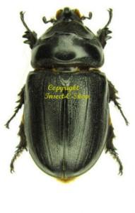 o-owariensis-female