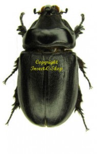 o-owariensis-male