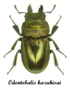 Odontolabis kazuhisai 1