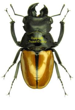 Odontolabis