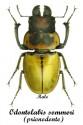 odontolabis-sommeri-prionodonte-male