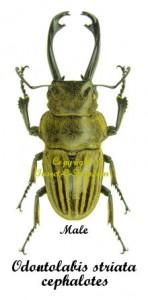 odontolabis-striata-cephaloter-male