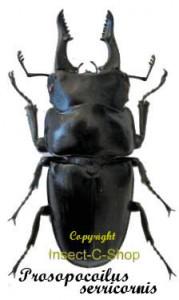 Prosopocoilus serricornis 1