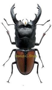 Prosopocoilus umhangi 1