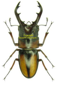 Prosopocoilus