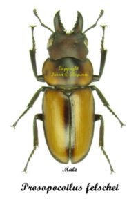 Prosopocoilus felschei 1
