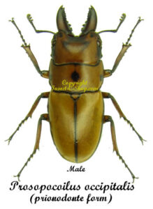 Prosopocoilus occipitalis occipitalis(prionodonte form) 1