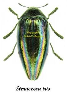 Sternocera iris 1