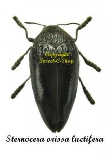 Sternocera orissa luctifera 1