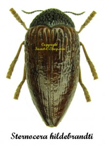 Sternocera hildebrandti  1