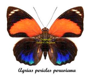 agrias-pericles-peruviana