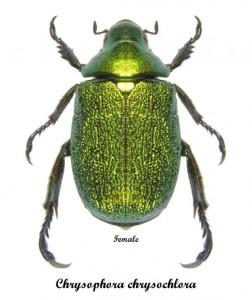 chrysophora-chrysochlora-female