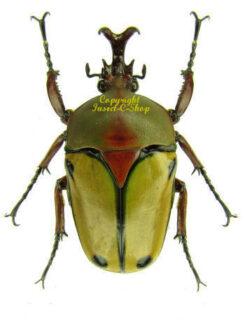 Coelorrhina / Eudicella