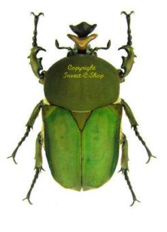 Compsocephalus / Stephanocrates
