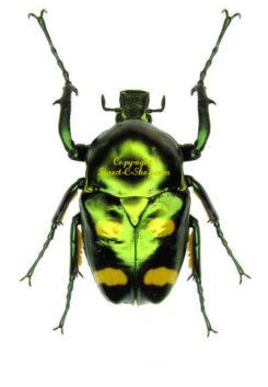 Asia / Oceania - Cetonidae