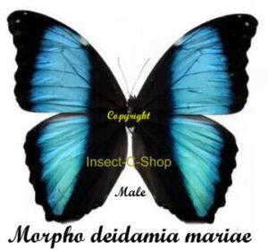 morpho-deidamia-mariae
