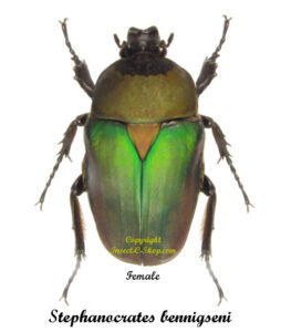 stephanocrates-bennigseni-female