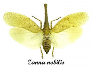 zanna-nobilis