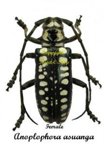 Anoplophora asuanga 1