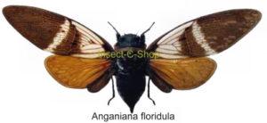 Anganiana floridula(Spread) 1