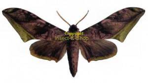 Acanthosphinx guessfeldti 1