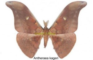 Antheraea kageri 1