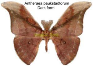 Antheraea paukstadtorum(dark form) 1