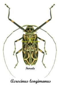Acrocinus longimanus 1
