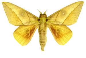 Adeloneivaia acuta 1
