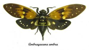 ambragaeana-ambra