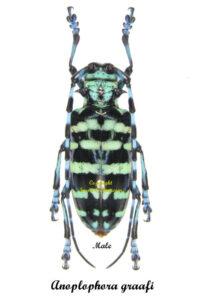anoplophora-graafi-indonesia-male