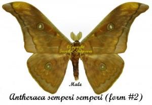 Antheraea semperi semperi(form#2) 1