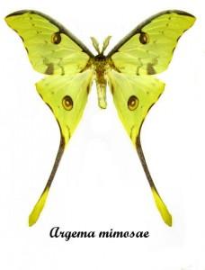 Argema mimosae 1