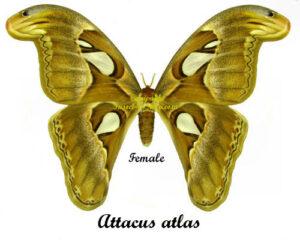 Attacus atlas 1