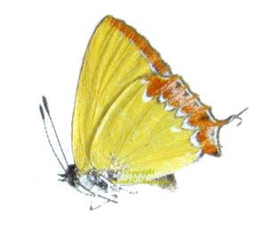 bug-heliophorus-epicles-hilima