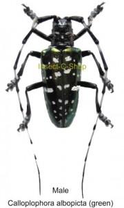 Calloplophora albopicta (green) 1