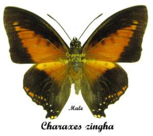 Charaxes zingha 1