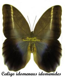 Caligo idomeneus idomenides 1