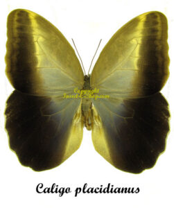 Caligo placidianus 1