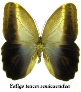 Caligo teucer semicaerulea 1