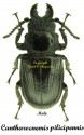 Cantharocnemis pilicipennis 1