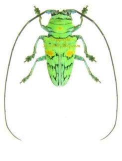 Africa - Cerambycidae