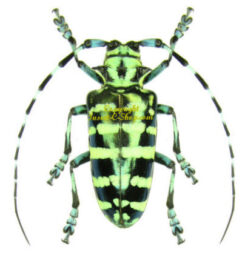 Asia / Oceania - Cerambycidae