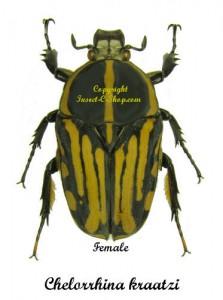 chelorrhina-kraatzi-female