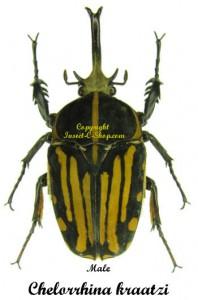 Chelorrhina Kraatzi 1